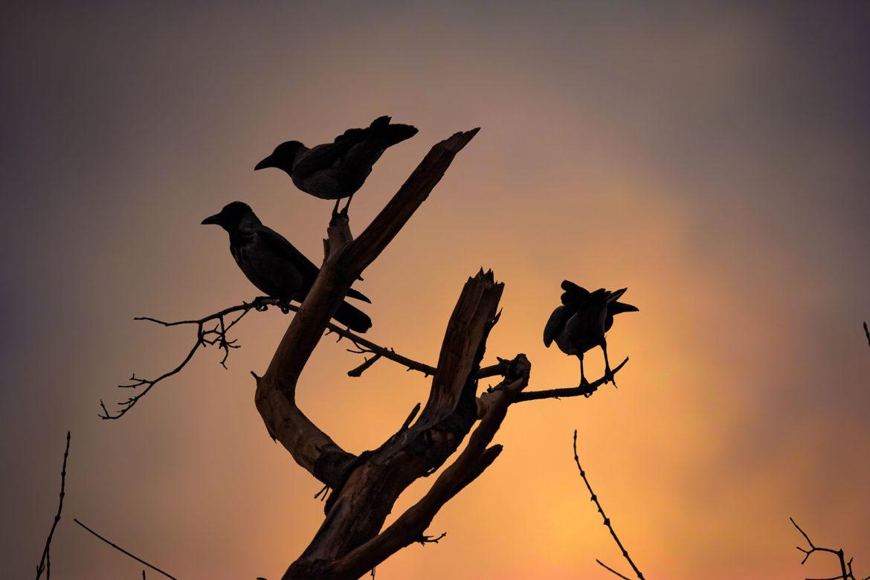 Ali Omidvar Crow_12