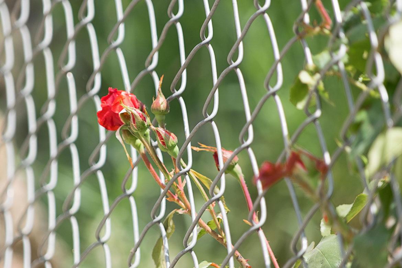 Ali Omidvar Flower_1