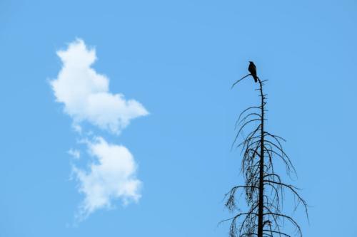 Ali Omidvar - Crow